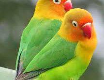 فروش پروبیوتیک پرندگان زینتی