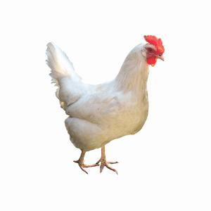مکمل معدنی مرغ گوشتی