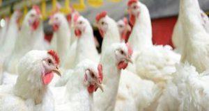 مکمل مرغ گوشتی مرغوب
