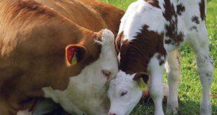 مکمل گاو شیری