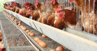 مکمل مرغ تخمگذار